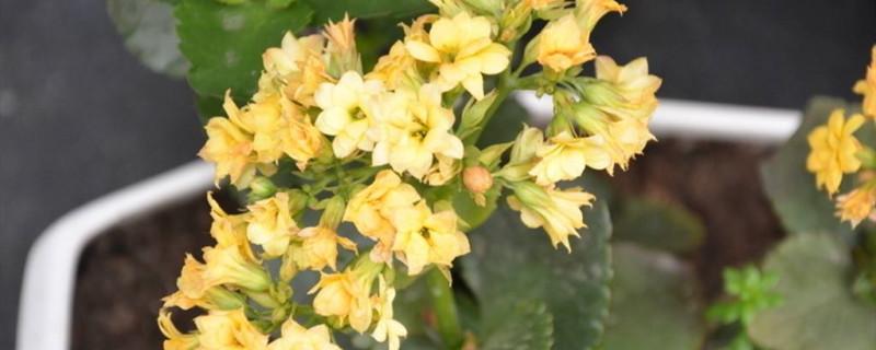 羽叶长寿花有多少品种