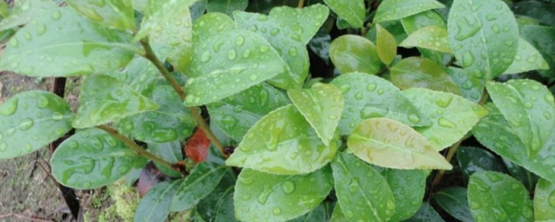 新种下的茶花小苗多少天可以生根