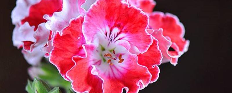 天竺葵有多少类