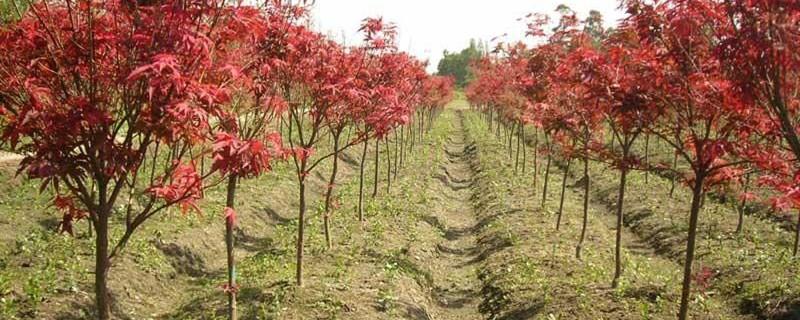 美国红枫苗一年长多少