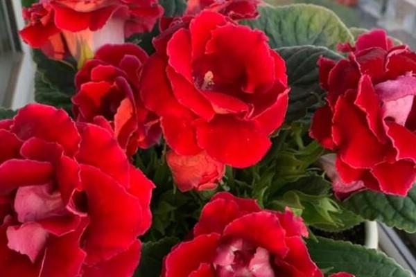 超耐阴的花,1片叶子扦插8盆,疯狂开花没停过!