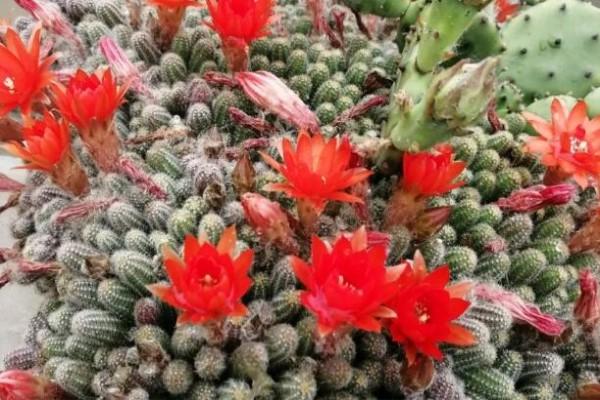这花像是毛毛虫,夏天越晒越爱开,1根枝开20朵,爆满缸!