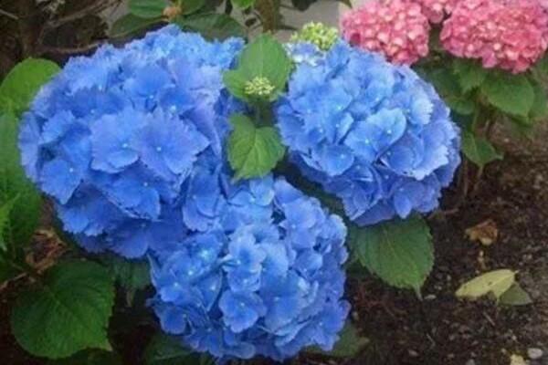 夏天养这6种花,38℃开出蓝色海洋,清凉又降温!
