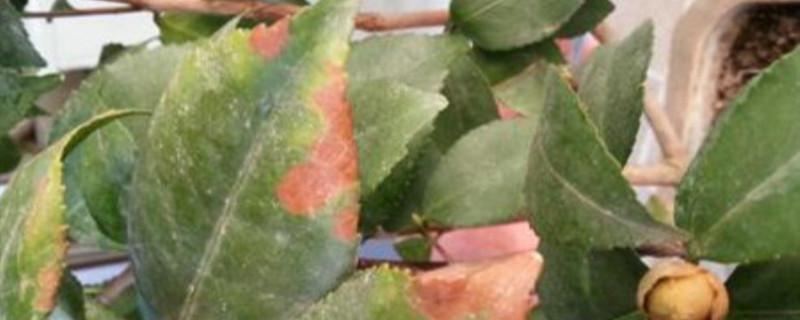 茶花叶子有锈斑脱叶怎么治