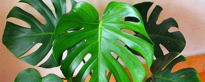 龟背竹几年叶子开裂