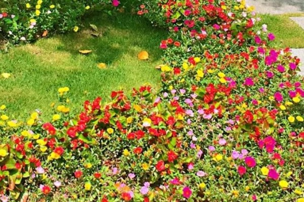 死不了的花,1年能开200天,切碎扔土里就活!