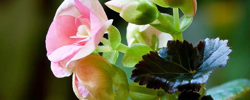 海棠如何使叶子长得盛