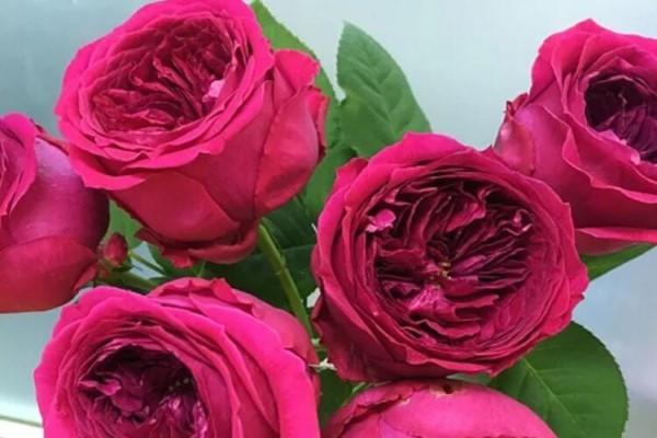 10种不怕热的月季,夏天随便养,一茬茬开花!