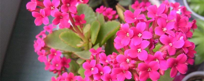 长寿花叶子的种植方法和注意事项