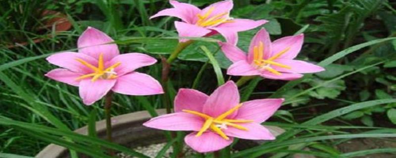 风雨兰开花能维持多久