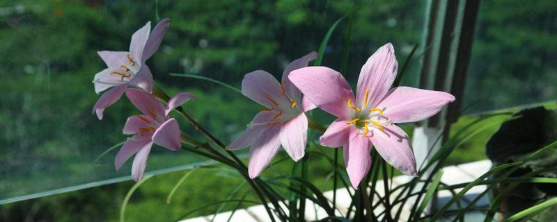 风雨兰为什么只开花不长叶子