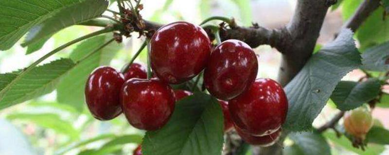樱桃树的种子传播方式