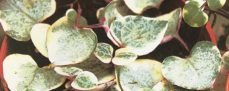 斑叶爱之蔓用什么土