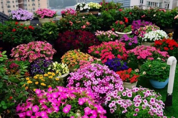 她在楼顶养400盆花,个个开成大花球,结果风一刮全没了!