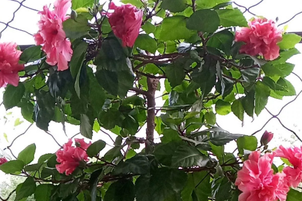 晒不死的花,现在剪1刀开花更猛,嗖嗖长成6层塔,戳屋顶了!