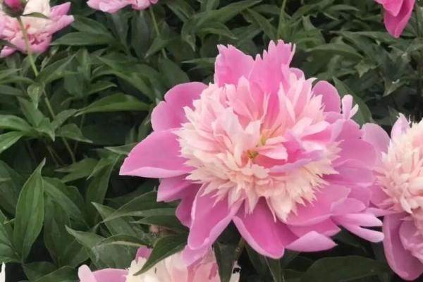 这种吉祥富贵花,秋天都要抢着养,错过再等一年!