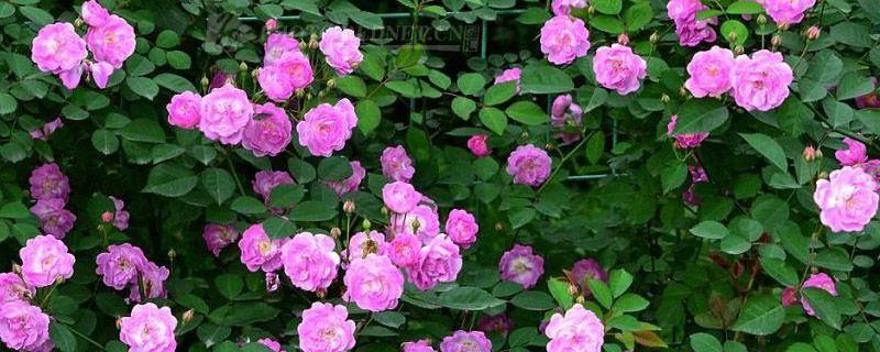 蔷薇花扦插后多久能活