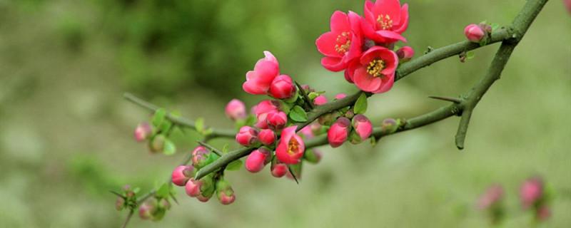 木本海棠花几月份扦插