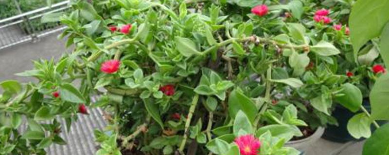 牡丹吊兰的扦插方法