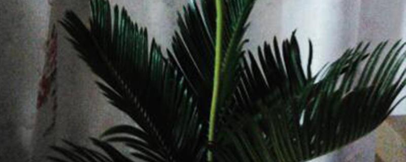 铁树扦插多长时间生根