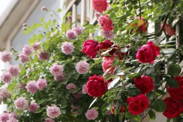 小窗台养这5种花,太阳一晒就开花,3个月爬满墙!