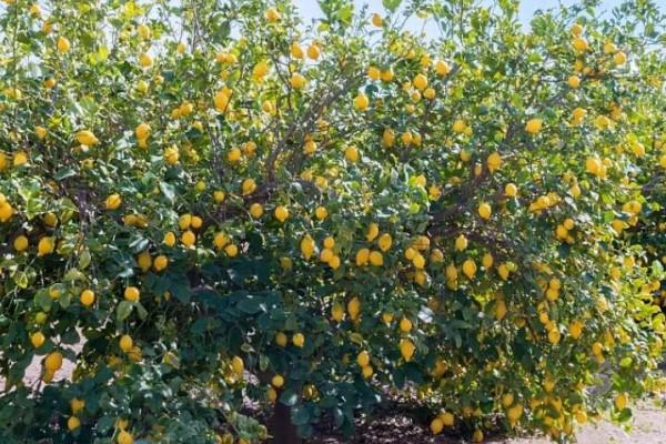"""这花就是""""活香水"""",杀菌除异味儿,秋天结满黄金果!"""