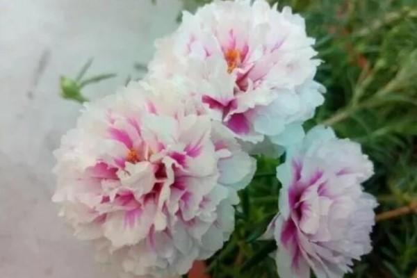 这花枝条剁8段,沾土就能活,3天生根7天开花!