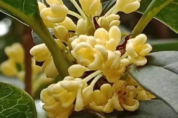 秋天必养的花,堪称活香水,养1盆香味飘10里!