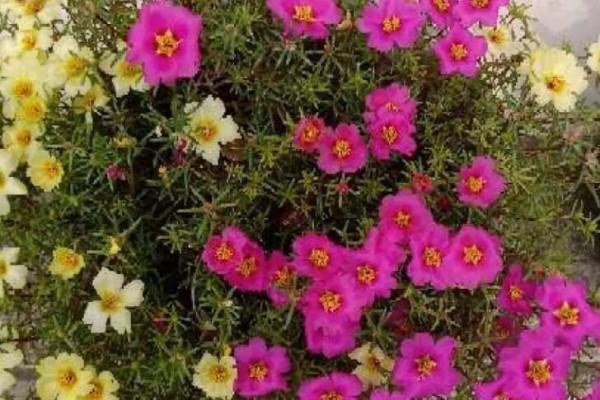 晒不死的花,一开一大簇,10天开出花地毯!