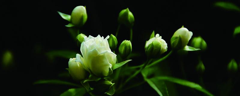 木香花的种植养护方法