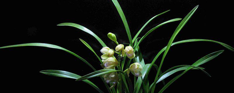 兰花叶片黑斑原因