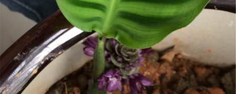 天鹅绒花的花语