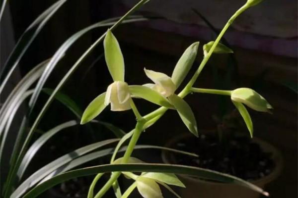 天生带银项链的花,叶子比花美,一养就爆盆!