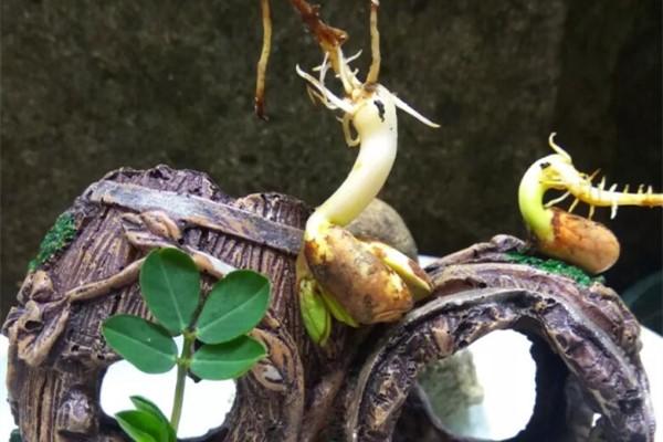 1粒花生米,被她养成盆景,造型比绿萝好看!