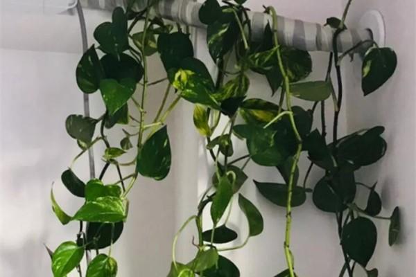绿萝文竹…绳子一绑,1个月窜成电视墙,太好养!