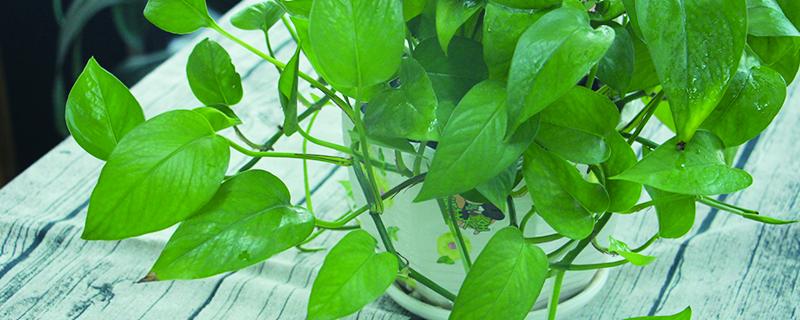 绿萝新叶子发黑像烧焦怎么办