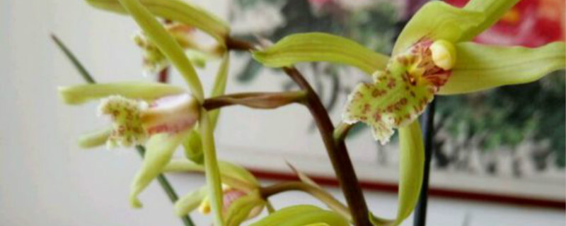 红香妃兰花怎样养更红