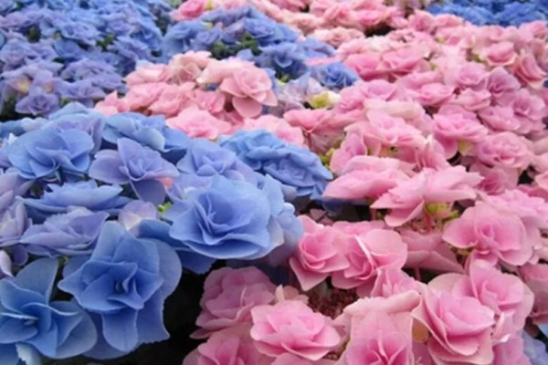 最受欢迎的耐阴花,北窗台也能开爆盆,养家里特气派!