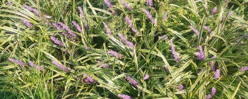 麦冬草和麦冬的区别