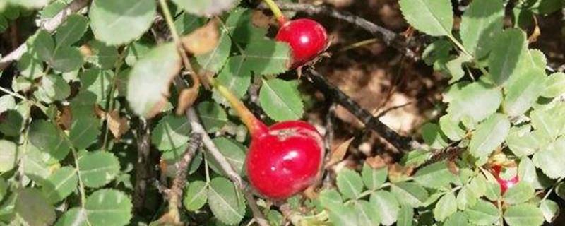 黄刺梅的果实能吃吗