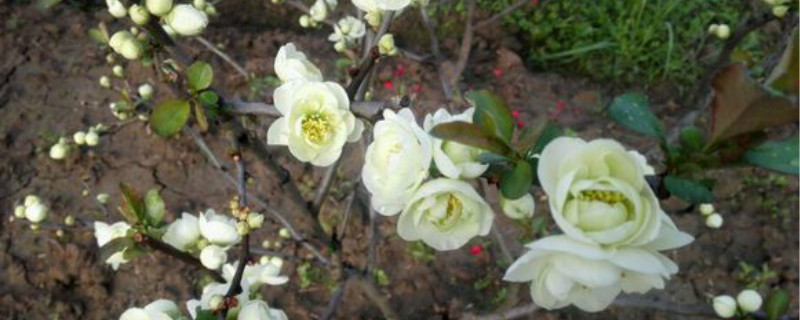 海棠白花品种