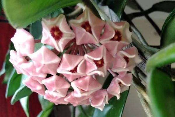 """家里的""""假绿萝"""",竟然能开花,凑近一闻可真香,团团圆圆福气旺!"""