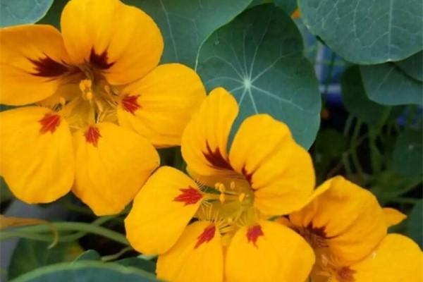 叶子像铜钱草的花,年年爆成大花球,春秋两季都在开!