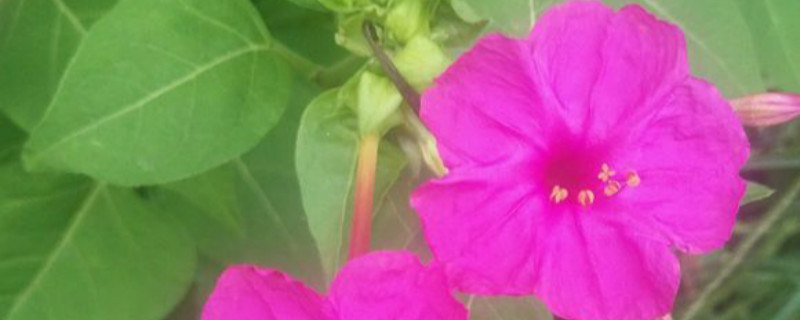 如何给紫茉莉浇水