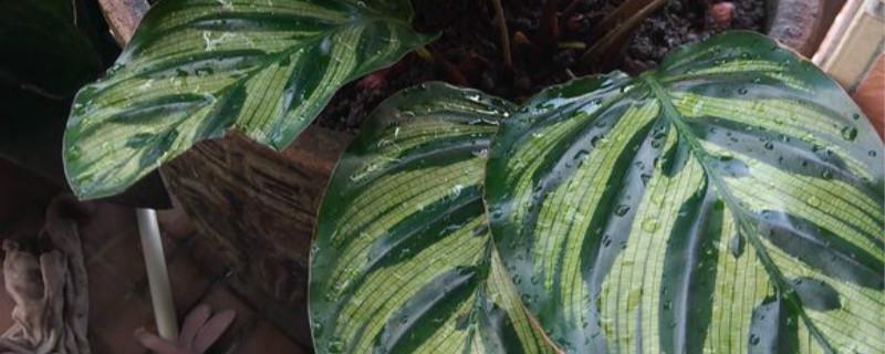 如何给孔雀竹芋浇水