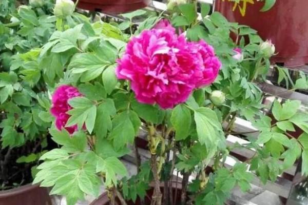 这4种花,就得大盆种,盆越大,根越粗,越长越旺盛!