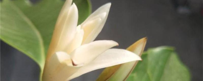 白兰花树虫害防治方法
