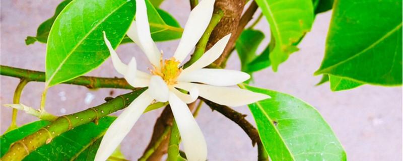 白兰花的砧木有哪些