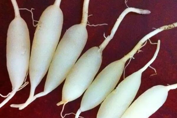 花盆里掺点它,根养的像白萝卜,胖得比手指还粗!