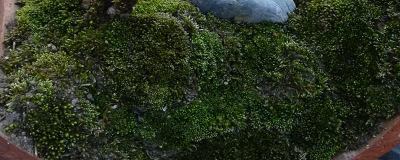 苔藓养多长时间会开花